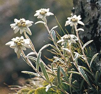 leontopodium-alpinum
